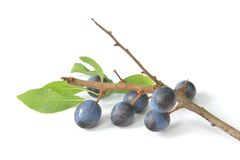 Sloes - Fruits of blackthorn Stock Photos
