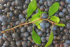 Sloes - Fruits of blackthorn Stock Photography