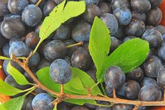 Sloes - Fruits of blackthorn Stock Images