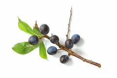 Sloes - Fruits of blackthorn. (Prunus spinosa) isolated against white background Royalty Free Stock Images