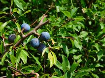 Sloes Stock Photos