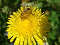 Slogger de la abeja Foto de archivo