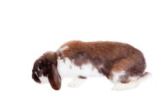 Slokörad brun prickig kanin Arkivfoto