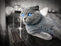 Slokörad katt med blåa ögon arkivbild