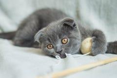 Slokörade kattungelekar Skottland katt, kattunge kattunge little som är skämtsam Royaltyfri Fotografi