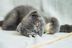 Slokörade kattungelekar Skottland katt, kattunge kattunge little som är skämtsam Royaltyfria Bilder