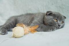 Slokörade kattungelekar Skottland katt, kattunge kattunge little som är skämtsam Royaltyfria Foton