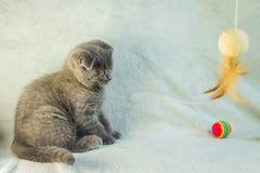 Slokörade kattungelekar Skottland katt, kattunge kattunge little som är skämtsam Royaltyfri Foto