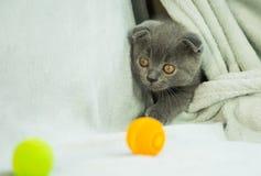 Slokörade kattungelekar Skottland katt, kattunge kattunge little som är skämtsam Arkivfoto