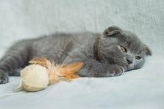 Slokörade kattungelekar Skottland katt, kattunge kattunge little som är skämtsam Arkivfoton