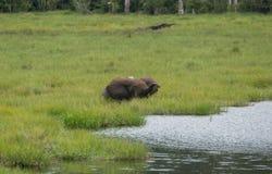 Slokörat elefantnederlag i det högväxta gräset på banken av den flodSangha Kongofloden Arkivfoton