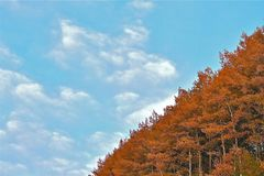 Sloped Horizons. Deep in October, trees in the Rocky Mountains are vivid and powerfully colorful. Just a snippet of the tree-top tree-line, this one with Autumn royalty free stock images
