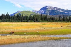 Slope Mountain Lake Clark Alaska Brown Bears. Two year old coastal brown grizzly bear next to Silver Salmon Creek as Slope Mountain looms in the background in Royalty Free Stock Photo