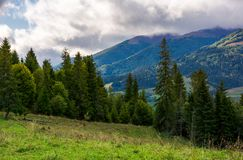 Coniferous forest on a  mountain slope. Slope of mountain range with coniferous forest Royalty Free Stock Photo