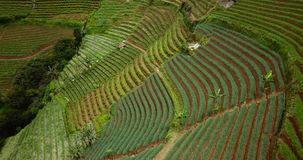 Slope of terraced fields with lush plants. Beautiful aerial view of slope of terraced fields with lush plants in Majalengka, West Java, Indonesia. Shot in 4k stock video