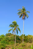Sloped coconut trees while windy.  Stock Photos