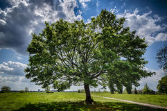 Sloped Mapletree on the Tempelhofer Field in spring Royalty Free Stock Photos