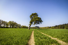 Sloped pine tree on a green field.  Stock Images