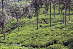 Sloped tea plant field. Tea estate landscape  near ooty, tamilnadu, india Royalty Free Stock Image