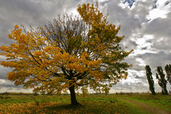 A sloped tree in autumn with dramatic sky. A maple tree in stormy weather on the tempelhofer field in berlin Stock Photo