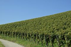 Sloped vinyard. Sloped vineyard with blue sky background Stock Images