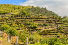 The characteristic viticultural landscape of Carema, Piedmont,Italy. The slopes hilly  have been terraced  with the construction of dry stone supporting walls on Royalty Free Stock Photo