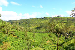 The slopes of the mountains in the tea plantations Royalty Free Stock Photos