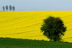 Sloping colza field Royalty Free Stock Photos