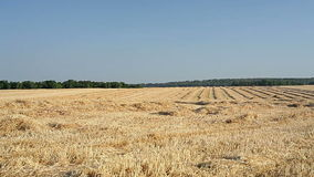 Sloping field of wheat in the autumn.  stock footage