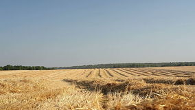 Sloping field of wheat in the autumn stock video