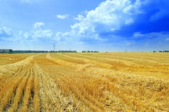 Sloping field of wheat. Wheat field with flattened wheat Royalty Free Stock Image