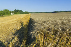 Sloping field of wheat. harvest Royalty Free Stock Image