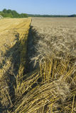 Sloping field of wheat. harvest Royalty Free Stock Images