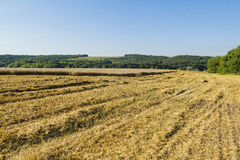 Sloping field of wheat. harvest Stock Images