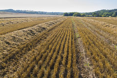 Sloping field of wheat. harvest Royalty Free Stock Photography