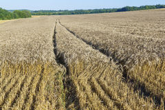 Sloping field of wheat. harvest Royalty Free Stock Photo