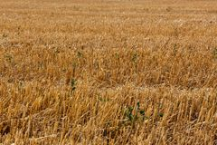 Sloping field of wheat Royalty Free Stock Images