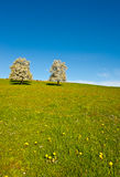 Sloping Meadows. Grazing Cows and Flowering Trees Surrounded by Sloping Meadows, Switzerland Royalty Free Stock Image