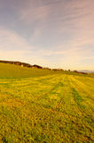 Sloping Meadows. Grazing Cows  Surrounded by Sloping Meadows, Switzerland, Sunrise Royalty Free Stock Photo