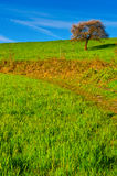 Sloping Meadows. Solitary Flowering Tree Surrounded by Sloping Meadows, Switzerland Stock Photography