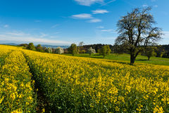 Sloping Meadows. Flowering Tree Surrounded by Sloping Meadows, Switzerland Royalty Free Stock Photography
