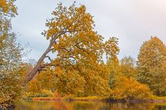 Sloping oak tree in autumn over the water pond. Stock Photo