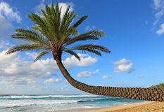 Sloping palm tree Royalty Free Stock Photos