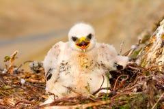 Sloppy chick like all children. Rough-legged Buzzard, tundra of the Novaya Zemlya archipelago Stock Photography
