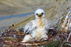 Sloppy chick like all children. Rough-legged Buzzard, tundra of the Novaya Zemlya archipelago Royalty Free Stock Photos