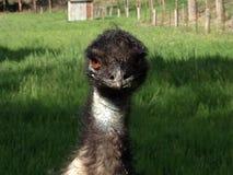 Slordige Emoe die Camera bekijken Royalty-vrije Stock Foto