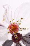 Slose up - plum tree flower with reflection Stock Photography