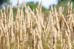 Sloseup dry grass. With spikelets Stock Photos