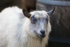 Slot Eyed Young Goat Stock Photos