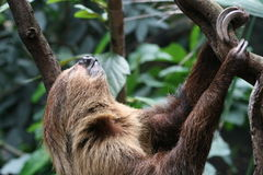 A sloth. A three toed sloth hanging in a tree Stock Photography